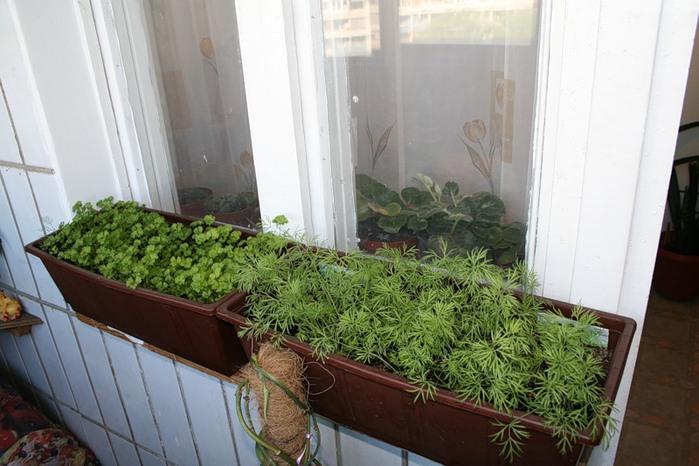 Выращивание зелени на подоконнике фото 64