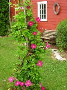 Какие вьющиеся цветы для сада выбрать