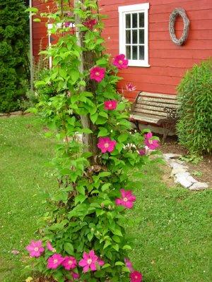 Плетущиеся цветы для сада многолетние 96