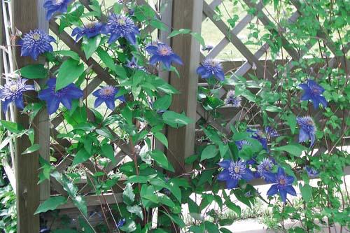Вьющиеся растения для балкона.
