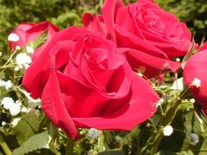 Посадка роз в открытый грунт