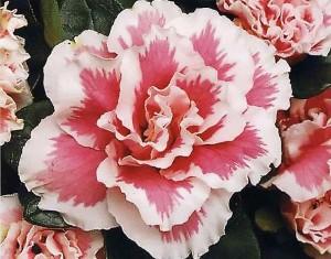 Azalia4 300x235 Самый красивый комнатный цветок