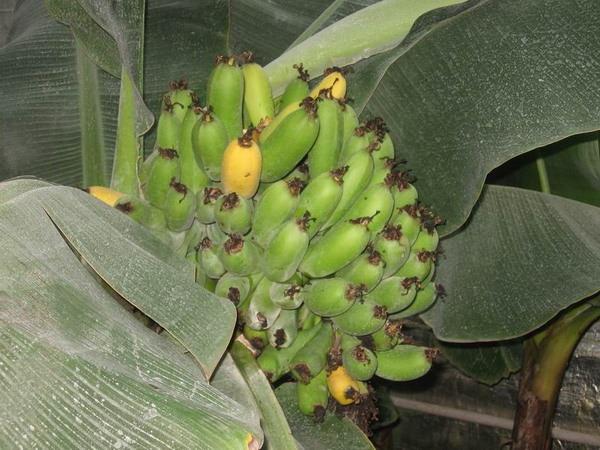 Банан выращивание в домашних условиях 496