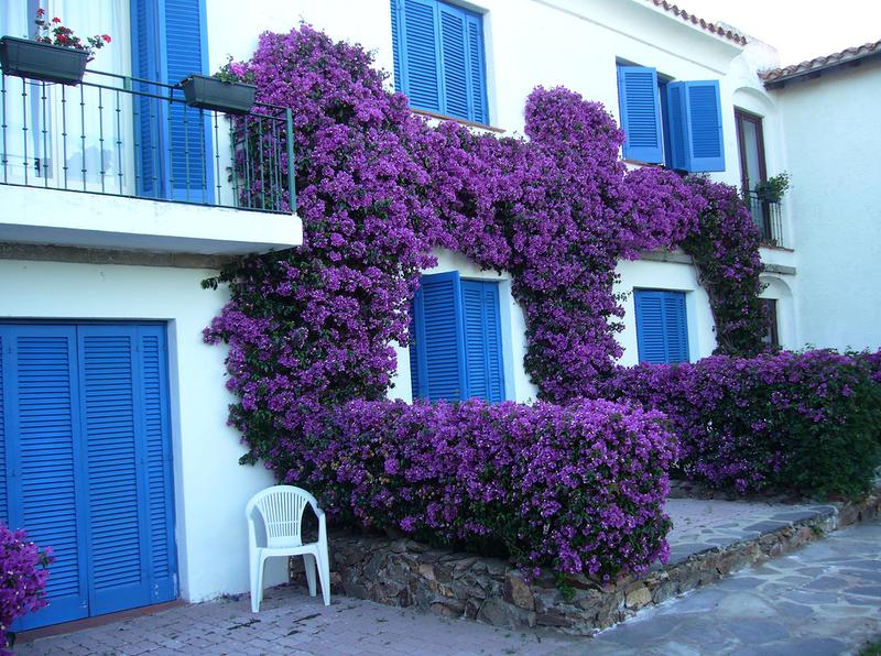 Цветущие лианы для сада