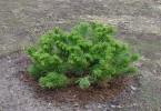 Особенности посадки хвойных растений