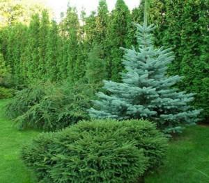 Уход за хвойными растениями. Советы и рекомендации
