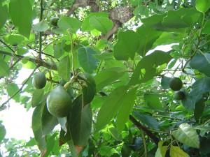 Авокадо – Persea