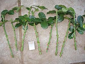 Размножение плетистых роз черенками