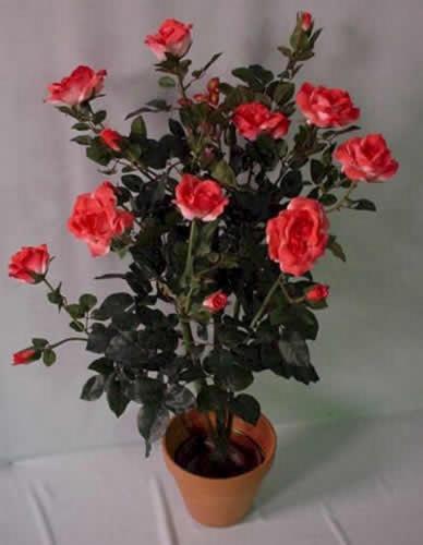 Комнатная роза, как ухаживать за розами в домашних