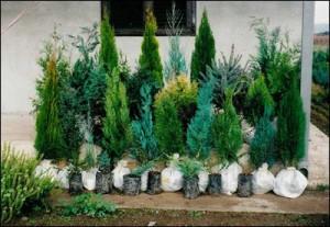 Оригинальные композиции из хвойных растений