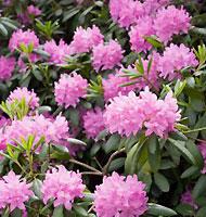 Азалия (Azalea) или Рододендрон  (Rhododendron)
