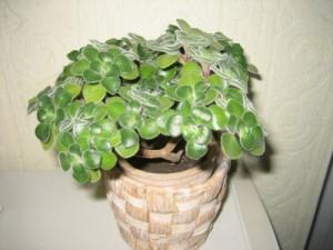 Аихризон или «дерево любви»  (Aichryson)