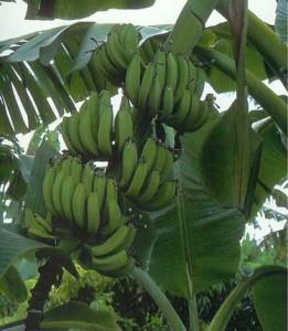 Банан — Musa