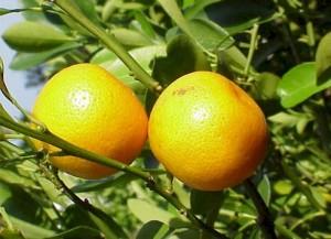 Грейпфрут — Citrus paradisi
