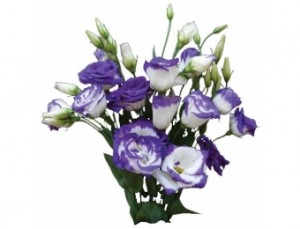 eustoma-lisianthus-purple3-340x260
