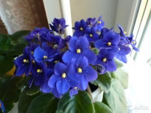 Почему не цветут фиалки? Как правильно ухаживать чтобы цвели?