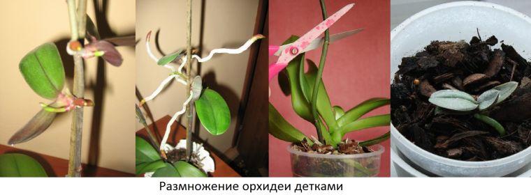 Размножение орхидей пошаговое фото - Размножение орхидеи в домашних условиях - Комнатные