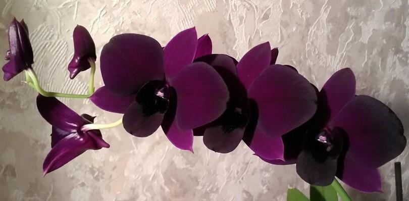 Орхидея дендробиум и фаленопсис уход в домашних условиях 73
