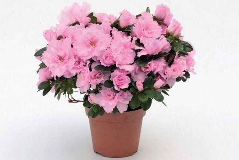 Азалия виды описание и фото  Комнатные растения и цветы