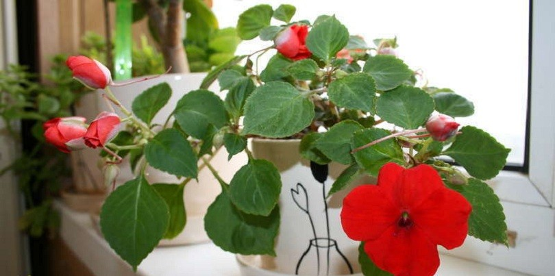 http://flowercare.ru/wp-content/uploads/2015/12/balzamin-810x403.jpg