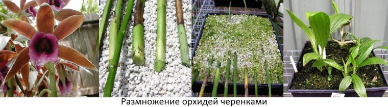 размножение орхидей дендробиум черенками