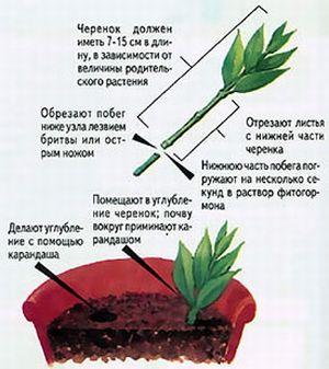 Как подготовить черенки бальзамина
