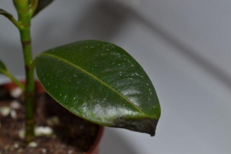 Сохнут кончики листье у фикуса
