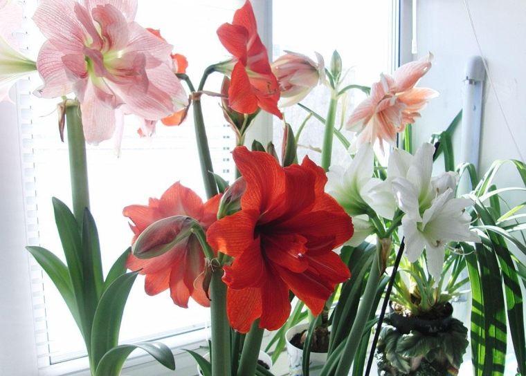 цветок гиппеаструм фото
