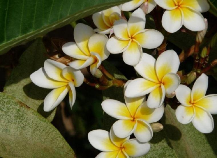 Как цветет фикус