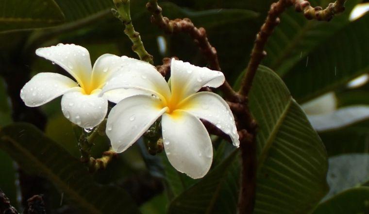 Фикус цветет
