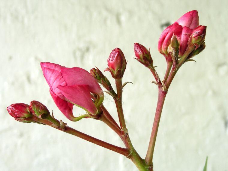олеандр цветок фото