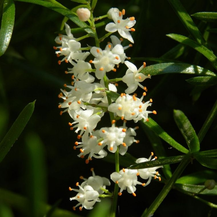 При уходе цветет аспаргус
