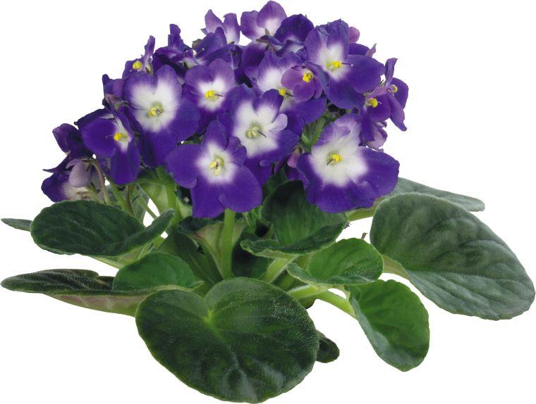 Цветок фиалка