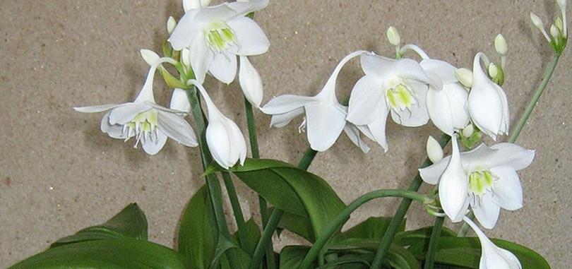 луковичные комнатные растения болезни и
