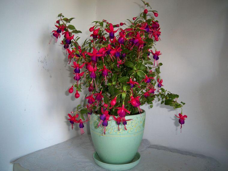 фуксия фото цветов