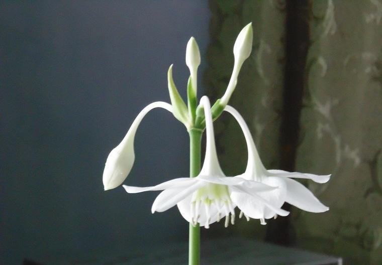 эухарис цветет