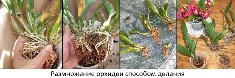 Размножения орхидей корнями в домашних условиях