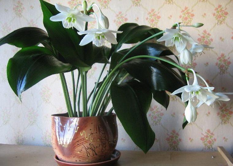 Цветок эухарис или амазонская лилия: уход, пересадка