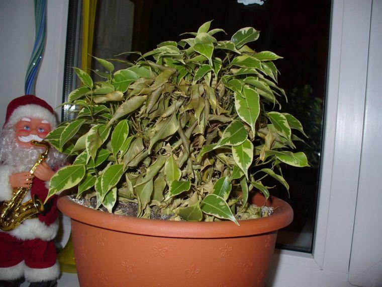 Фикус наташа уход в домашних условиях фото почему опадают листья