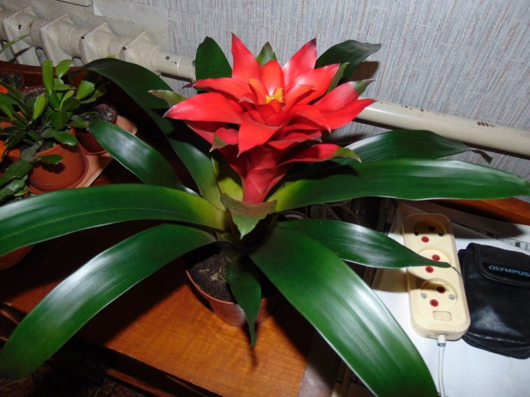 гузмания цветет