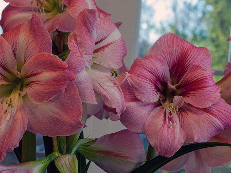 Как выглядит цветок гиппеаструм
