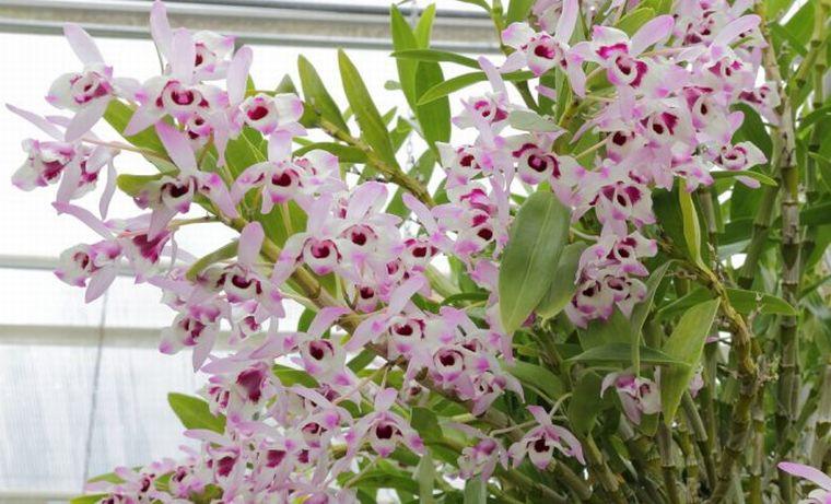 Орхидея дендробиум Кинга
