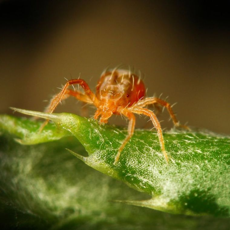 паутинный клещ под микроскопом