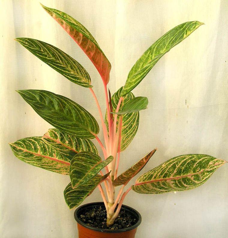 аглаонема полезное растение