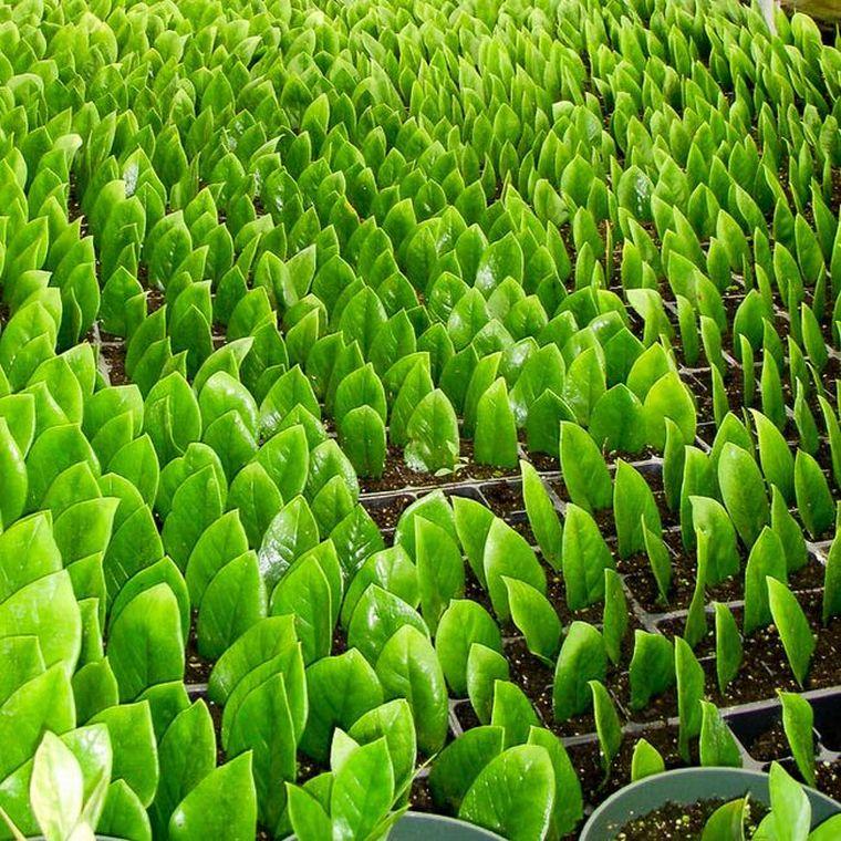замиокулькас листом размножение
