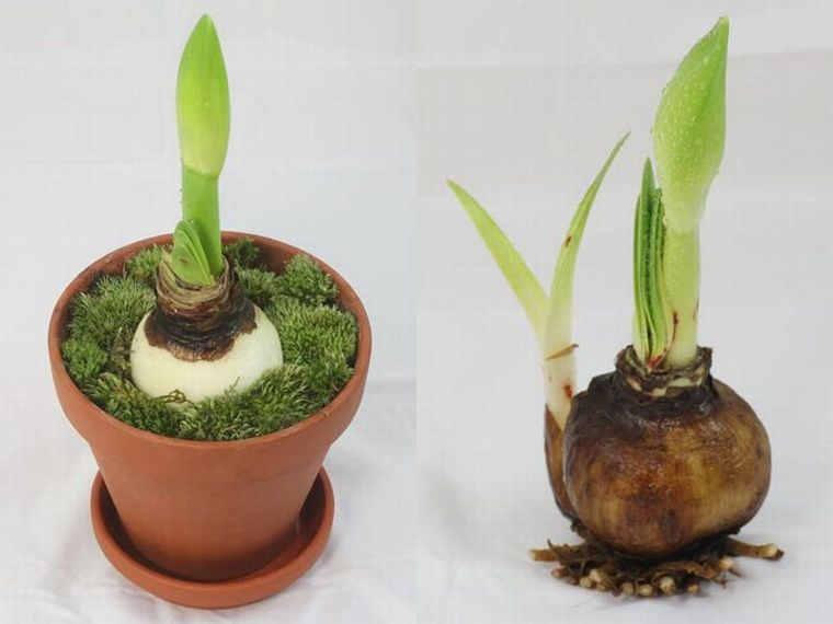 посадка амариллиса в мох