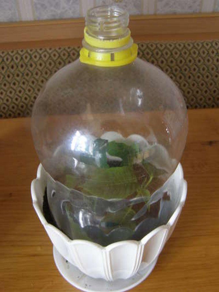 Черенки накрытые бутылкой