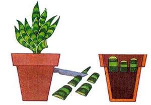 Размножение листом сансевиерия