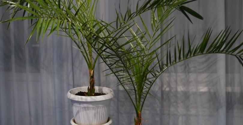Финиковая пальма структура стебля