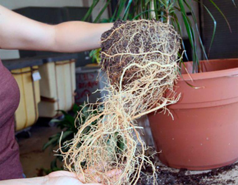 Растение драцена пересадка